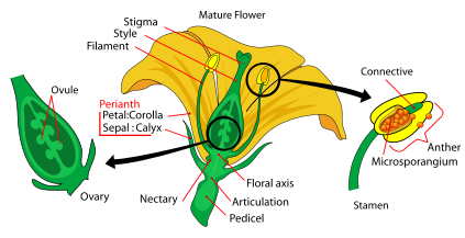 A typical dicotyledonous animal pollinated flower - HL ...